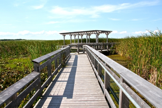 Boardwalk through the marsh.