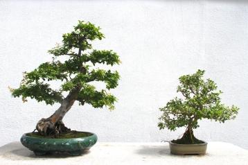 Bonsai. A whole room of them.