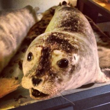 Stuffed seal