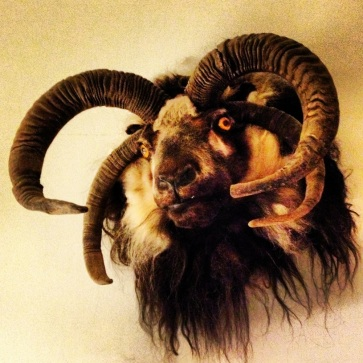 Four-headed goat