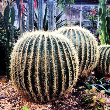 Big spiky cactus ball.