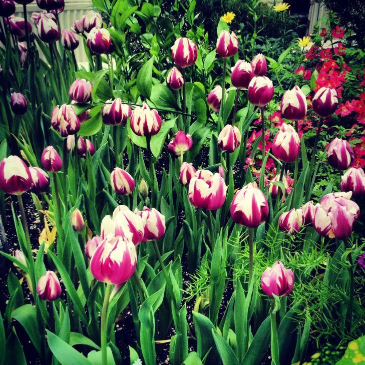 Tulips! In winter! In Toronto!