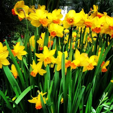 Daffodils remind me of England