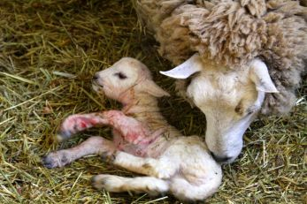 Newborn lamb. That lovely placenta smell.