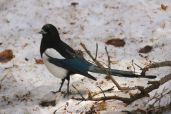 Like a magpie but with blue tail feathers