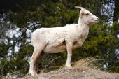 Goat/sheep return trip