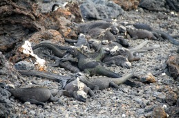 These marine iguanas blocked our path