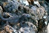 Juvenile marine iguana