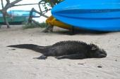 This marine iguana was huge