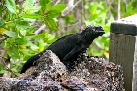 Marine iguana guarding the path on the way to the breeding centre.