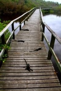 Iguanas blocking our path