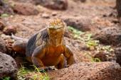 Land iguana!