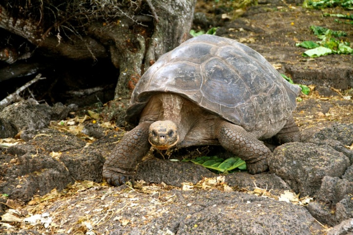 A tortoises at the Charles Darwin research station