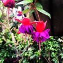 Purple and red bells