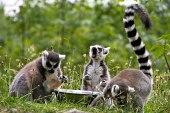 Lemurs!