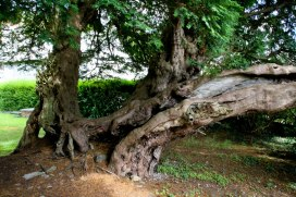 Oldest yew tree in Wales