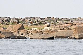Polar bear mum and yearling cub