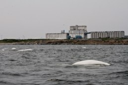 Beluga whales!
