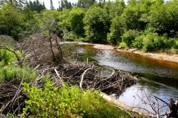 Beaver dam!