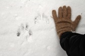 Suspected wolf track