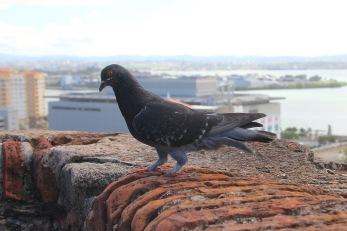Pigeon on San Cristobal