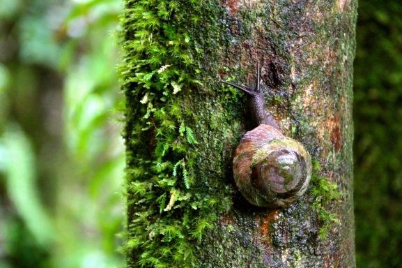 The same giant snail