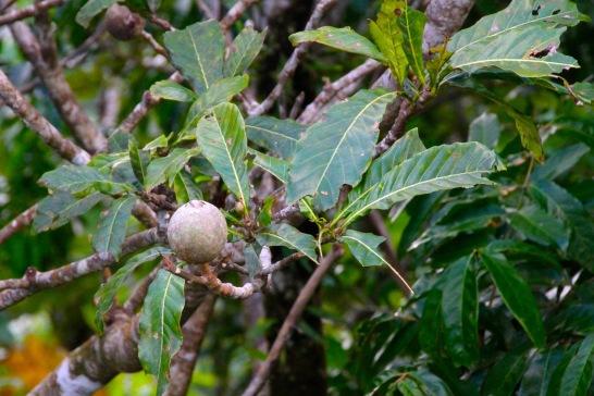 Rainforest fruit