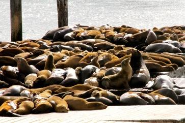 Californian Sea Lions