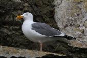 The sea gulls on Alcatraz are HUGE!