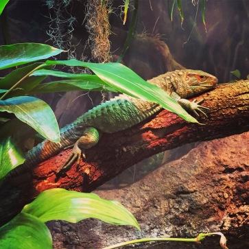Caimen Lizard