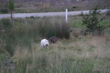 White wallaby and brown wallaby