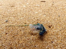 Blue-bottle Jellyfish