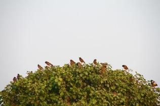 Mynah birds