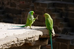 These parrots were doing some sort of courting/feeding ritual.