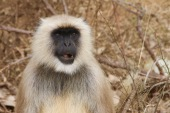 Black-faced langur