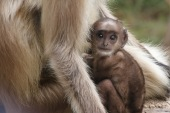 Baby black-faced langur