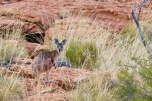 A rare sighting of a wallaroo/euro in Kings Canyon