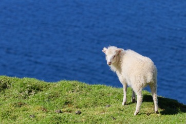 Sheepies!